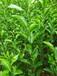 常年出售优质实生红桔苗,各种柑橘苗,以及奶苗芽苗。