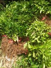 供应红桔树苗-红橘钻木苗-红橘树苗价格-红橘树苗价格-红桔树苗价格红橘苗基地图片