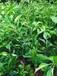 大雅柑1号柑橘树苗-大雅柑价格-简阳大雅柑树苗批发-眉山大雅柑树苗价格-