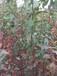 汶川晚熟青脆李果树苗-汶川脆红李树苗价格-汶川果树苗批发-汶川李子树苗价格
