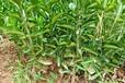 资阳毛桃苗基地-成都果树苗基地-资阳李子树苗供应-资阳柑橘树苗出售