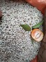 四川红桔种子批发-柑橘种子批发-柑橘芽苗批发-简阳红桔芽苗价格图片