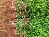 四川酸柚苗价格-简阳酸柚苗批发-酸柚苗基地-哪里有酸柚苗卖