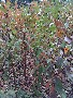 李子树苗价格_李子苗批发_青脆李苗采购-脆红李苗采购-李子树苗厂家-五月脆李树苗采购图片