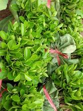 红桔芽苗-四川红桔苗批发-哪里有红橘苗卖-红桔芽苗批发-红橘芽苗价格图片