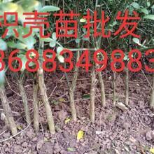 枳壳苗批发-柑橘苗批发-枳壳苗价格-四川哪里有枳壳苗图片