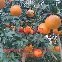 眉山爱嫒38号-爱嫒38号柑橘苗价格-爱嫒38号柑橘苗-爱嫒38号柑橘苗批发图片