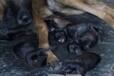 專業犬舍出售三窩高品質小馬犬
