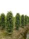 深圳供应白玉兰树、柳树、紫薇树、凤凰木、芒果树、桂花树