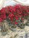 花都供应红背桂、花叶连翘、大红花、勒杜鹃、黄榕、金叶连翘