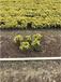 荔湾供应鸭脚木、非洲茉莉、散尾葵、三角梅