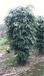 番禺供应白玉兰树、柳树、紫薇树、凤凰木、芒果树、桂花树