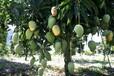 从化供应白玉兰树、柳树、紫薇树、凤凰木、芒果树、桂花树
