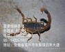 農家女養殖蝎子致富記合肥蝎子養殖