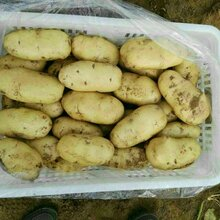 全國土豆價格荷蘭十五土豆批發行情圖片