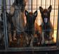 赛级马犬出售。双血统带证书,疫苗驱虫已做完,保健康图腾犬业