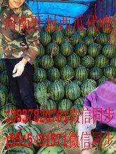 河南西瓜(8424西瓜)麒麟瓜图片