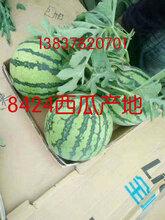 河南夏邑西瓜-夏邑8424西瓜-无籽美都西瓜图片