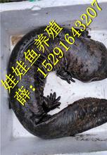 美丽娃娃鱼多少钱一斤,五斤左右娃娃鱼价格批发图片