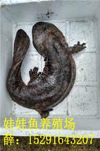 五斤重娃娃鱼多少钱一斤,哪里有卖娃娃鱼的图片