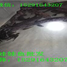 21018年陕西娃娃鱼养殖场,人工养殖娃娃鱼多少钱一斤图片