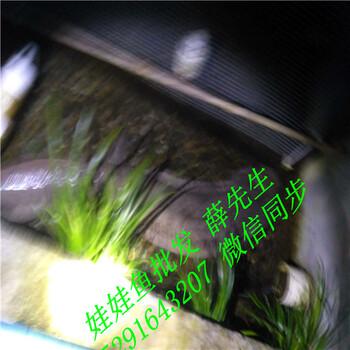 亚博体育官方登陆--任意三数字加yabo.com直达官网基地批发娃娃鱼多少钱一斤,2018年大鲵价格不贵