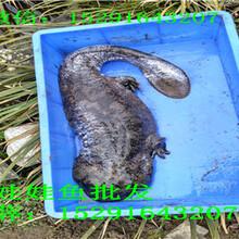 苏州娃娃鱼哪里有卖|2018年娃娃鱼多少钱一斤图片