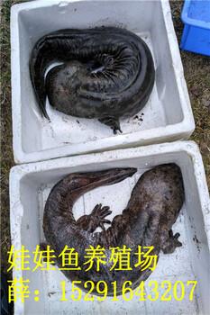 重庆娃娃鱼价格,2018年五斤重娃娃鱼价格批发