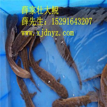 降价娃娃鱼价格,养殖娃娃鱼价格多少钱一斤