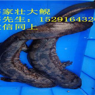 2018年贵州娃娃鱼养殖,娃娃鱼苗价格图片1