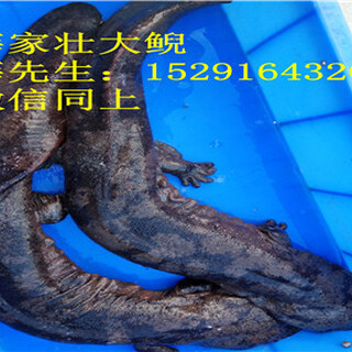 2018年贵州娃娃鱼养殖,娃娃鱼苗价格图片2