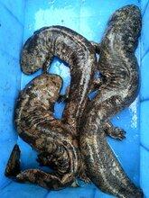现在娃娃鱼价格,批发娃娃鱼养殖基地便宜,产地直销