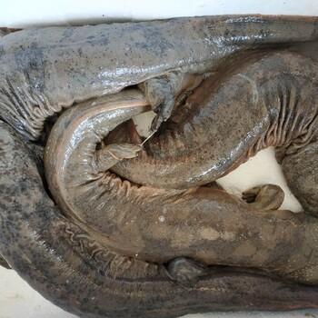 金九银十娃娃鱼价格多少钱一斤,养殖基地娃娃鱼价格