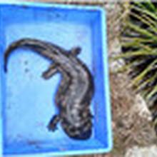 娃娃魚苗孵化技術娃娃魚幼苗繁殖基地大鯢種苗行情圖片