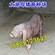 黑太湖母猪
