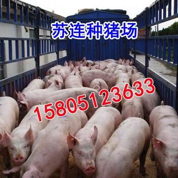 哪里出售瘦肉型三元仔猪哪里有瘦肉型三元仔猪出售?