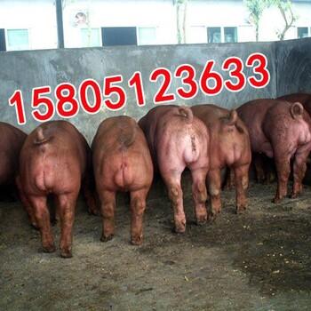 哪里有卖出售杜洛克公猪?美系杜洛克公猪哪里有出售?