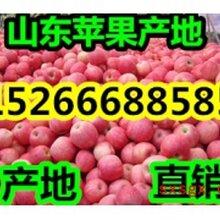 山東美八蘋果產地行情價格圖片