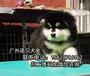 清远阿拉斯加犬出售阿拉斯加幼犬阿拉斯加多少钱一只
