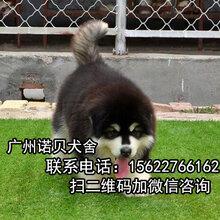 广州最权威的狗场广州诺贝狗场犬业协会指点犬类销售