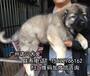 肇庆哪里有卖高加索纯种高加索多少钱狗场地址在哪里