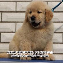 南沙区附近哪里有卖纯种金毛犬多少钱一只金毛犬价格