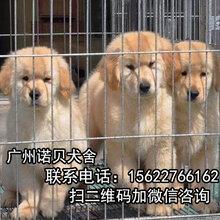 广州哪里买金毛犬多少钱一只