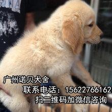 花都哪里有卖纯种金毛犬花都金毛犬广州宠物狗