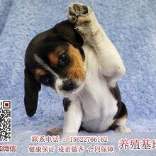比格犬嗅觉好的狗狗广东诺贝狗场健康比格小狗