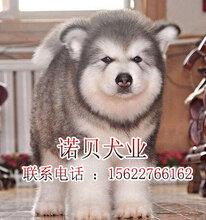 阿拉斯加犬和哈士奇的区别广州阿拉斯加犬怎么卖
