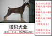 杜宾犬图片_杜宾价格_杜宾多少钱一只_珠海杜宾