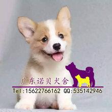 花都柯基犬纯种柯基犬小狗柯基犬幼犬