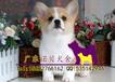 珠海哪里能买到纯种柯基犬广州正规狗场广州诺贝狗场