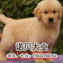 广州哪里买金毛犬金毛犬多少钱一只金毛犬小狗